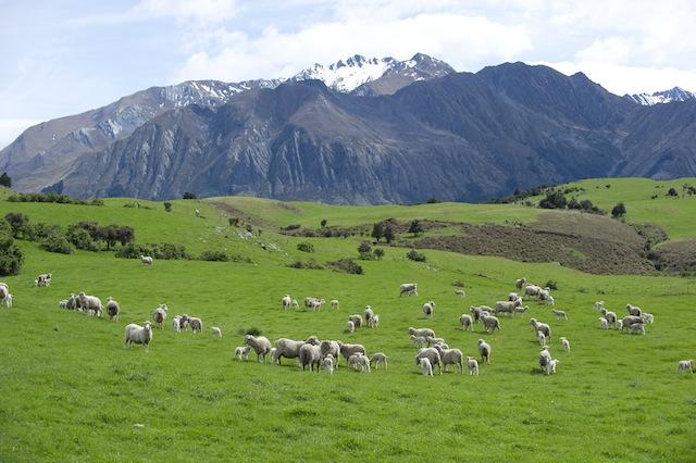 Importation d'agneau de Nouvelle-Zélande