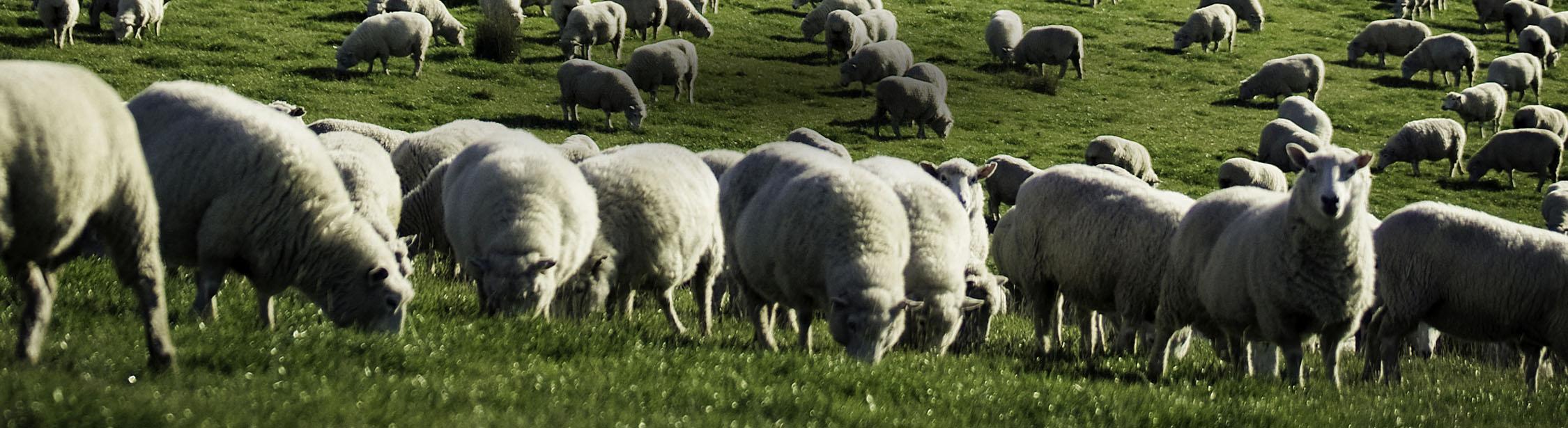Mouton de Nouvelle Zélande